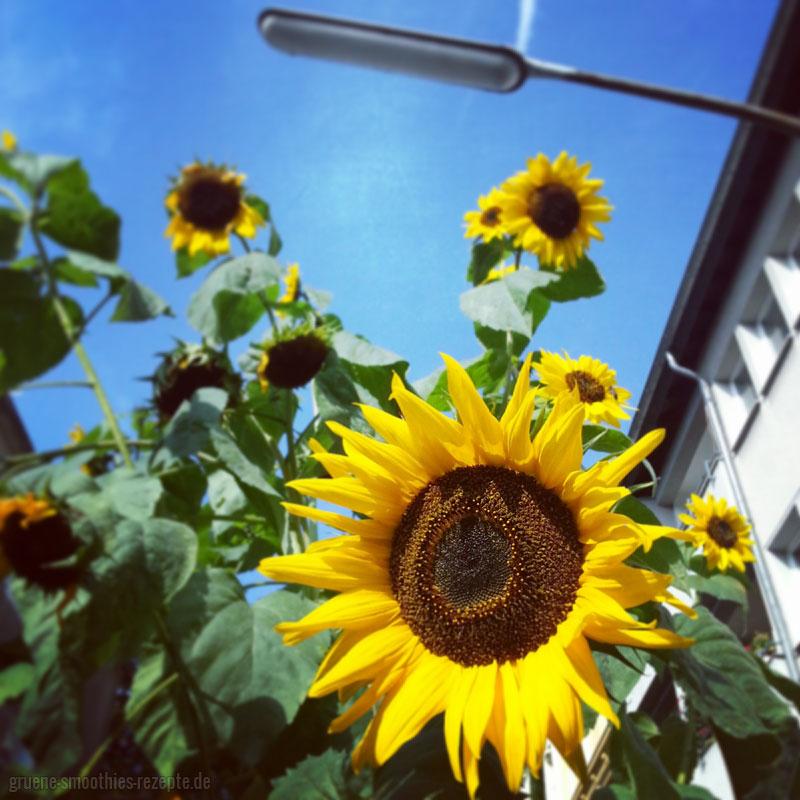 Mrs. Smoothies trifft auf eine riesige Sonnenblume mitten in der City - Urban Gardening Teil 1