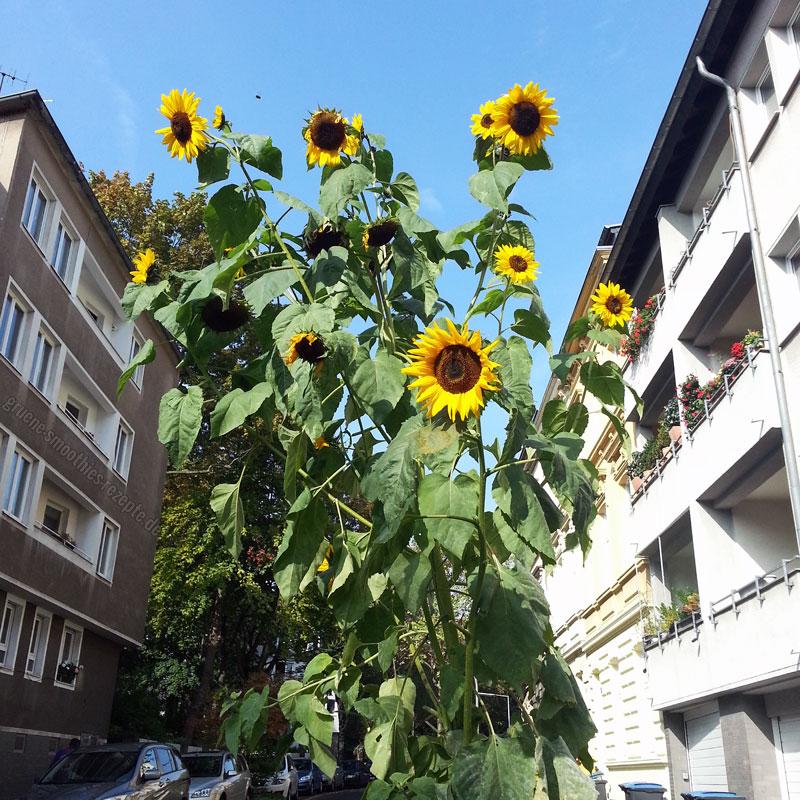 Mrs. Smoothies trifft auf eine riesige Sonnenblume mitten in der City - Urban Gardening Teil 2